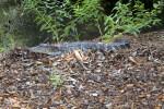 American Alligator at the Kanapaha Botanical Gardens