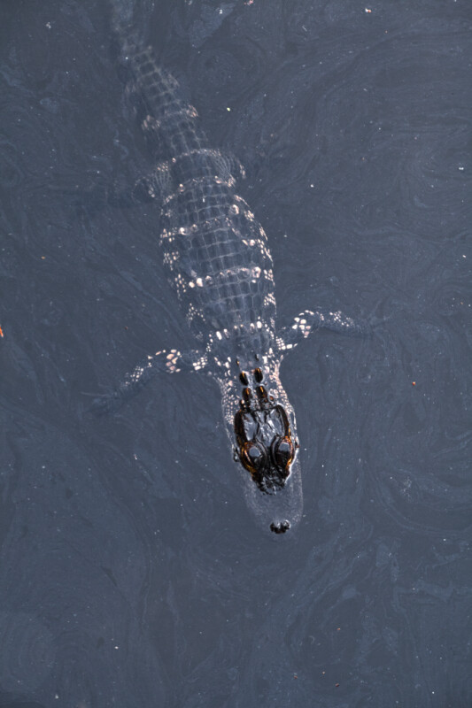 American Alligator at the Water's Surface