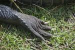 American Alligator Claw