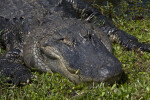 American Alligator Close-Up
