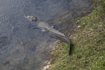 American Alligator Entering Water
