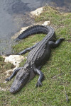 American Alligator Exiting Body of Water