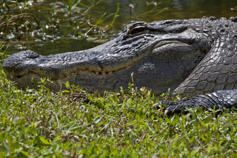 American Alligator Head and Mouth Close-Up