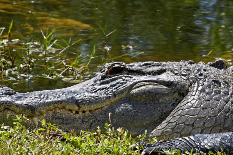 American Alligator Head Close-Up