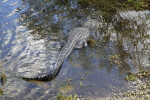 American Alligator in Shallow Water