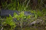 American Alligator Lying Amongst Vegetation