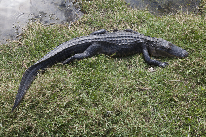 American Alligator Lying in Grass
