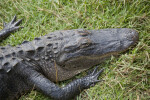 American Alligator Lying in Grass at Big Cypress National Preserve