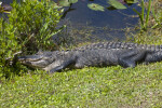 American Alligator Lying in Grass at Shark Valley of Everglades National Park