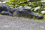 American Alligator Lying in Grass near a Paved Road