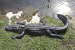 American Alligator Lying on Bank