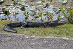 American Alligator Lying on Side of a Road at Shark Valley of Everglades National Park