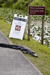 American Alligator Lying on Side of Road