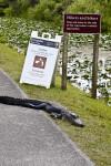 American Alligator Lying on Side of Road