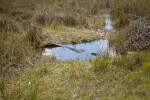 American Alligator Lying Partially Submerged in a Puddle