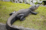 American Alligator Making its Way to the Water