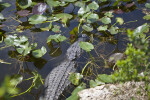 American Alligator Navigating its Way Through Aquatic Plants