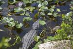 American Alligator Navigating its Way Through Aquatic Plants