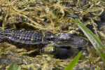 American Alligator Partially Submerged in Murky Water