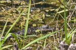 American Alligator Partially Submerged in Water