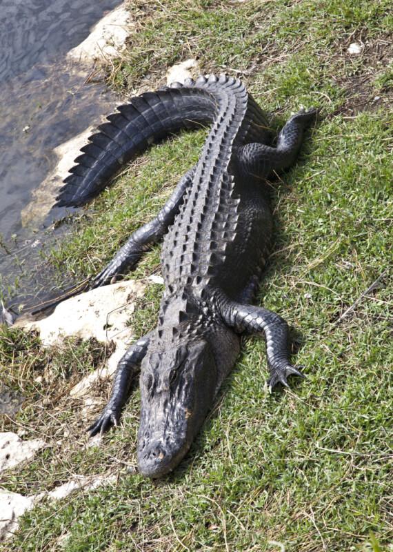American Alligator Resting