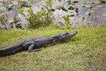 American Alligator Resting in Grass