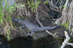 American Alligator Resting Near Tree Trunks at Anhinga Trail of Everglades National Park