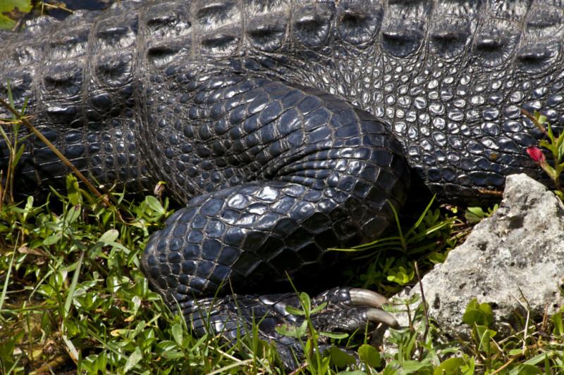 American Alligator Skin