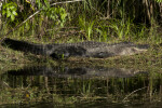 American Alligator Sunning in Grass