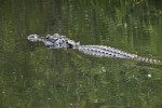 American Alligator Swimming Through Water