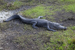 American Alligator with a Curvy Tail