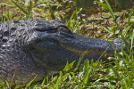 American Alligator with Eye Closed Lying in Grass at Shark Valley of Everglades National Park