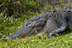 American Alligator with its Eye and Mouth Closed