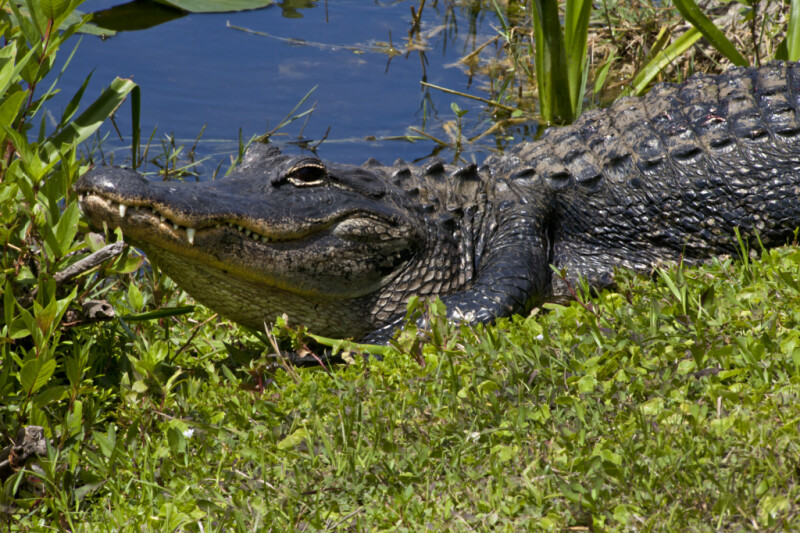 American Alligator With its Head Up