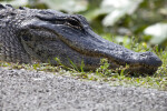 American Alligator with its Right Eye Open