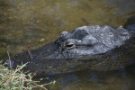American Alligator with Most of Body Submerged in Water