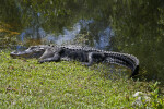 American Alligator with Most of its Body Out of the Water