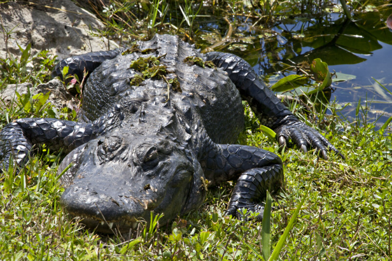 American Alligator with Plants on its Back
