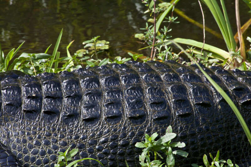 American Alligator's Back