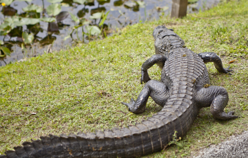American Alligator's Back and Long Tail