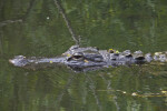 American Alligator's Head Just Above the Water's Surface