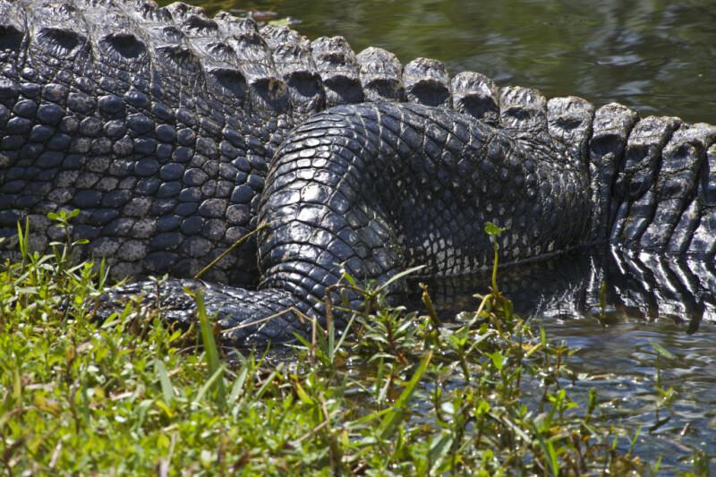 American Alligator's Leg Close-Up