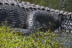 American Alligator's Leg Close-Up