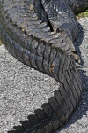 American Alligator's Tail
