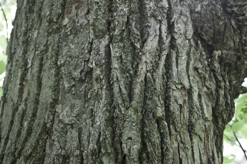 American Basswood Bark Detail