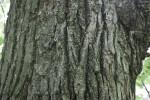American Basswood Bark Detail