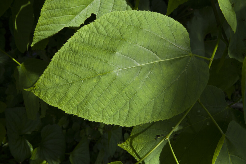 American Basswood Green Leaf