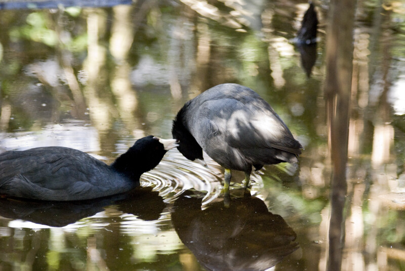 American Coots Grooming