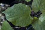 American Linden Leaf Close-Up