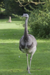 American Rhea Front View